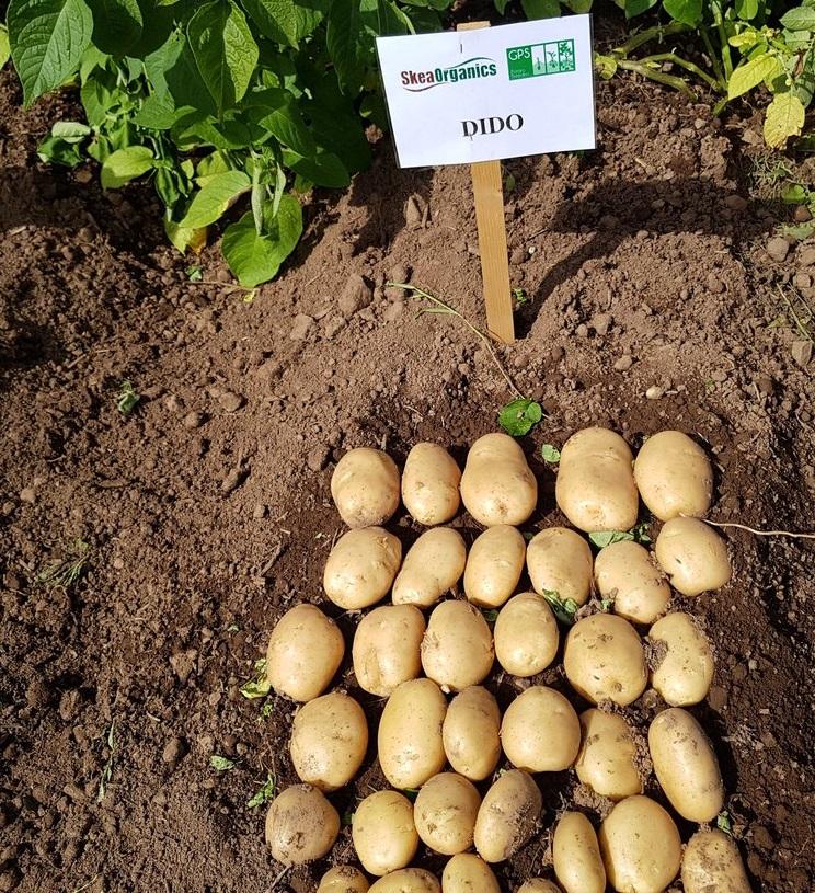 фото сорта картофеля дидо