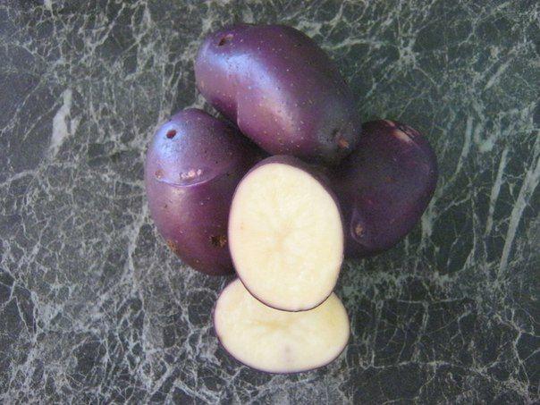 фото сорта картофеля донецкий