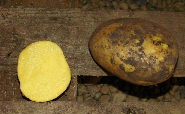 фото сорта картофеля дубрава