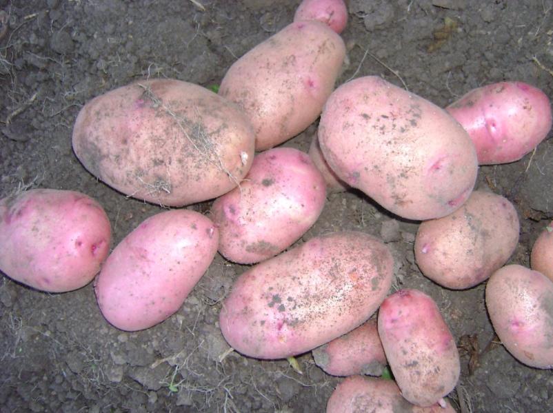 фото картофеля Евгения
