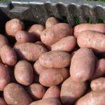 фото картошки Евразия
