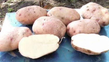 фото картошки Здабытак