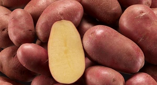 фото сорта картофеля Елена