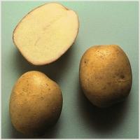 фото сорта картофеля живица