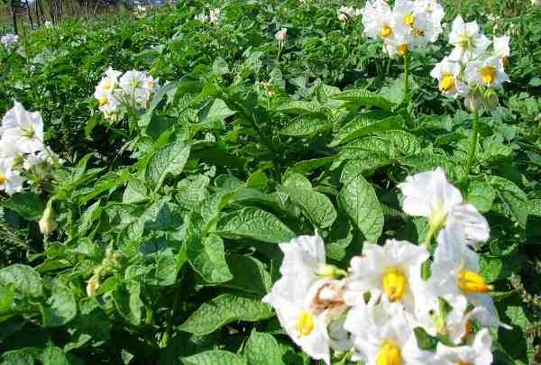значение внекорневой подкормки картофеля после цветения