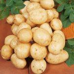 фото картошки Карлингфорд