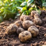 фото картошки Каскад