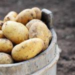 фото картошки Кея