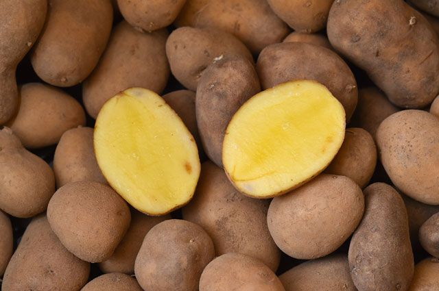 фото сорта картофеля Камчатка