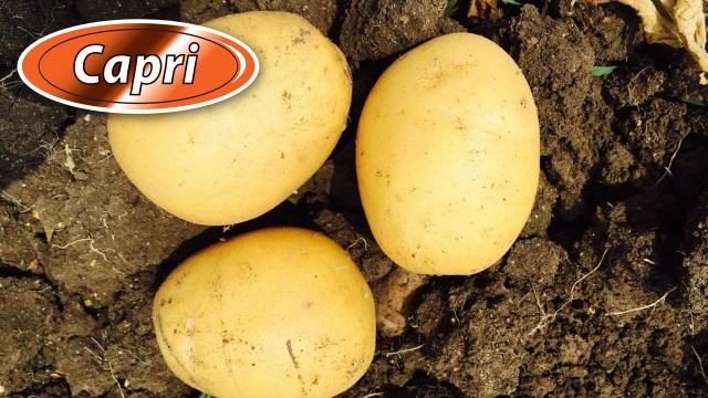 фото сорта картофеля Капри