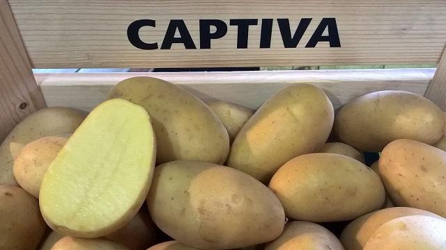 фото сорта картофеля Каптива