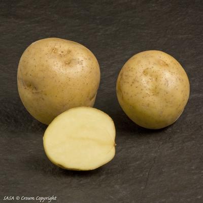фото сорта картофеля Карлена