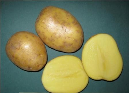 фото сорта картофеля Каскад