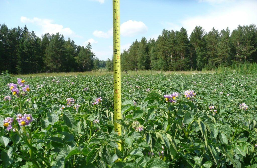 фото нормальной высоты картофельной ботвы
