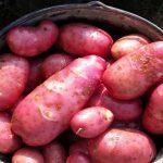 фото колпашевской картошки