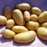 фото картошки Королле