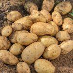 фото картошки корона