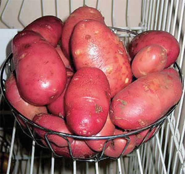фото сорта картофеля колпашевский