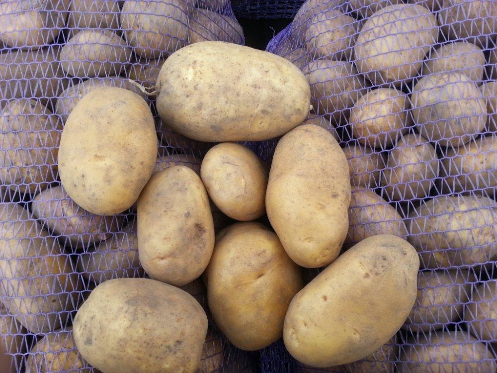 фото сорта картофеля корона