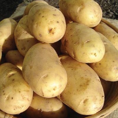 фото сорта картофеля космос