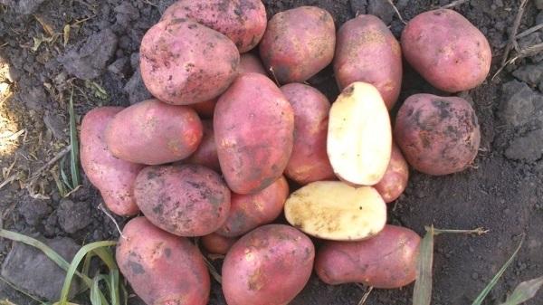 фото сорта картофеля красная роза