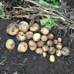 фото картошки Кристель