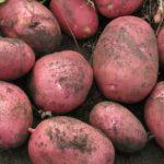 фото картошки Купец