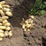 фото картошки леди Анна