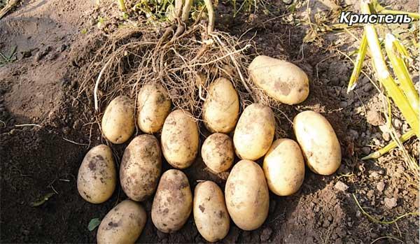 фото сорта картофеля Кристель