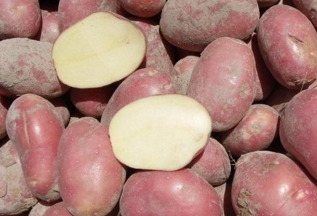 фото сорта картофеля купец