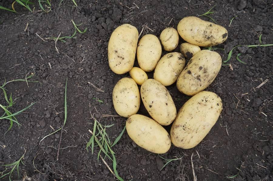 фото сорта картофеля Кузовок