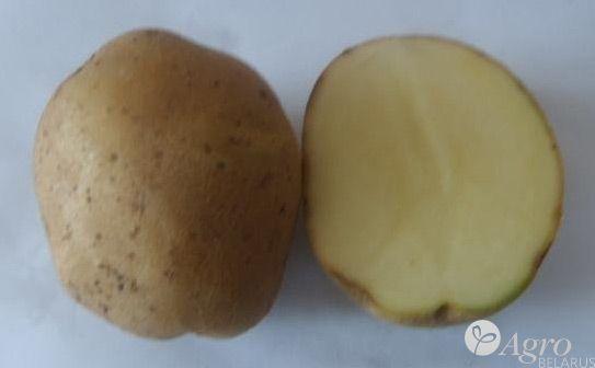 фото сорта картофеля лазурит