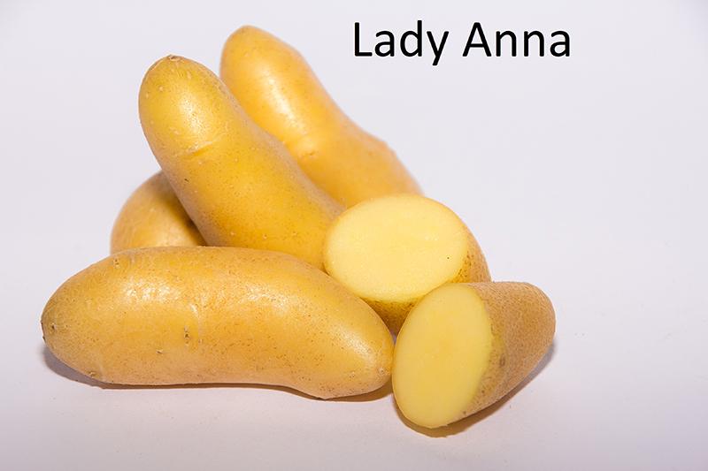 фото сорта картофеля леди Анна