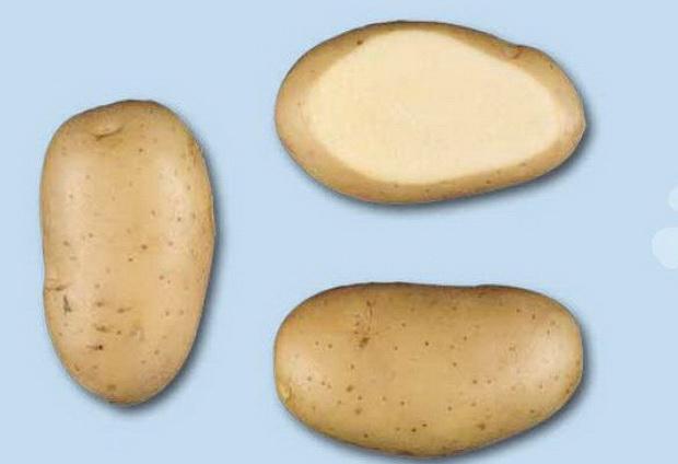фото сорта картофеля леди Олимпия