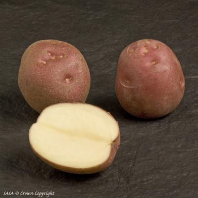 фото сорта картофеля леди Розетта