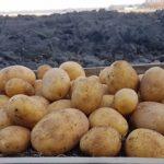 фото картошки Лилли