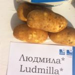 фото картошки Людмила