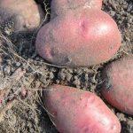 фото картошки майский цветок