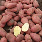 фото картошки Маниту