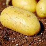 фото картошки Марс