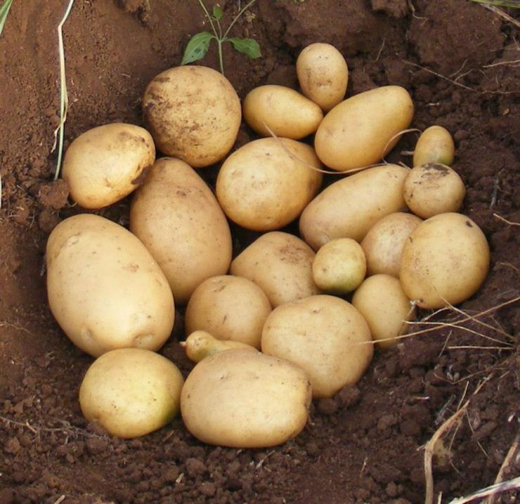 фото сорта картофеля леди Сара