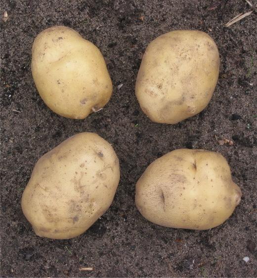 фото сорта картофеля Лукьяновский