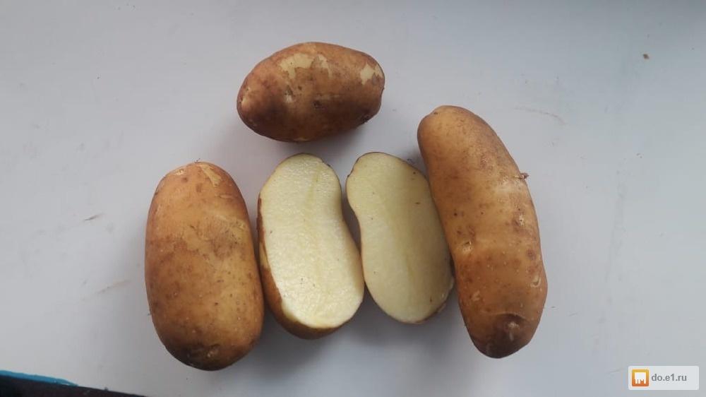фото сорта картофеля Людмила