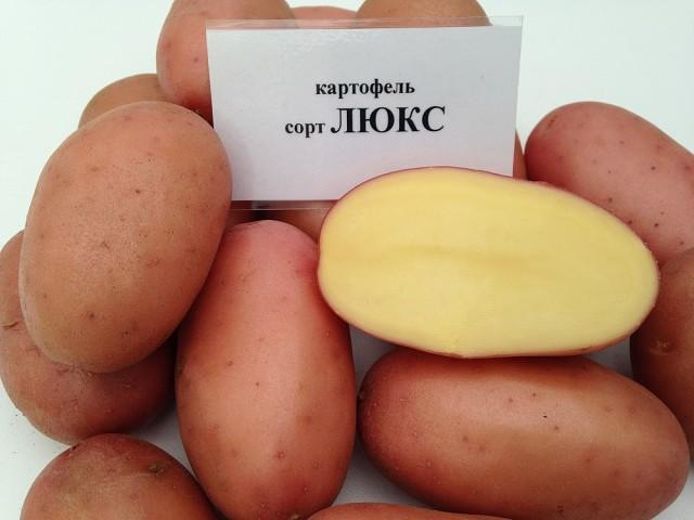 фото сорта картофеля Люкс
