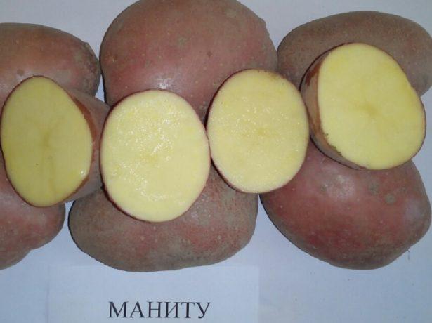 фото сорта картофеля Маниту