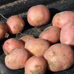 фото картошки Мишка