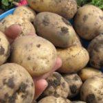 фото москорецкой картошки