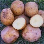 фото мусинской картошки