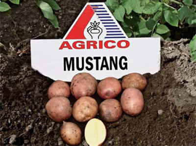фото сорта картофеля мустанг