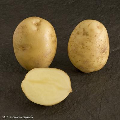 фото сорта картофеля музыка
